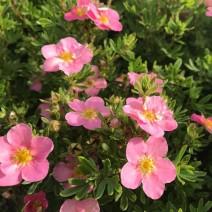 Potentilla-Petoprstnik  'Lovely Pink'®