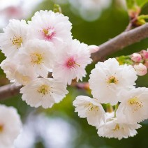 Prunus glandulosa- Kitajska češnja 'Alba Plena'