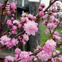 Prunus glandulosa- Kitajska Češnja 'Rosea Plena'