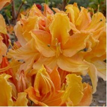 Rododendron  'Golden Lights'