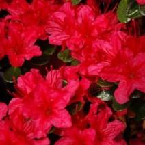 Rododendron  'Moederkensdag'