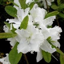 Rododendron  'Oxydol'