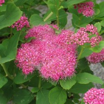 Medvejka-spiraea densiflora