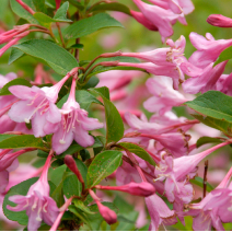 Weigela florida 'Pink Princess'
