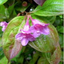 Weigela 'Wings of Fire'®