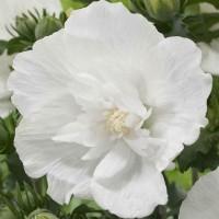 Hibiskus 'White Chiffon'®