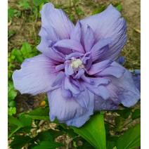 Hibiskus 'Blue Chiffon'®