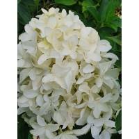 Hortenzija  'Grandiflora'®