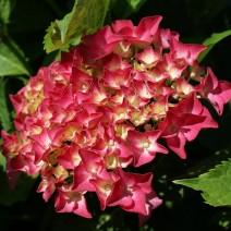 Hortenzija 'Alpenglühen'
