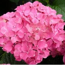 Hortenzija Style Pink'®