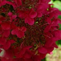 Hortenzija 'Wim's Red'®