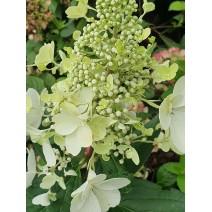Hortenzija  'Pastelgreen'®