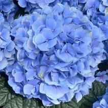 Hortenzija  'Blauer Zwerg'