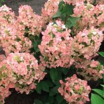 Hortenzija Magical Sweet Summer'®