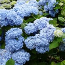 Hortenzija 'Nikko Blue'