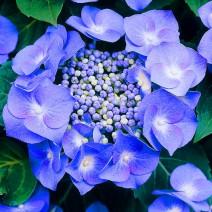 Hortenzija 'Teller Blue'