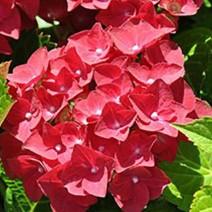 Hortenzija 'Hot Red'®