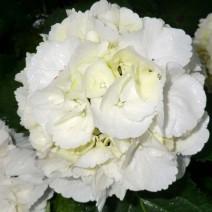 Hortenzija 'Schneeball'®