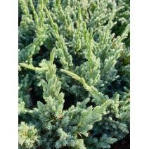 Juniperus squamata 'Blue Compact'