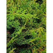 Juniperus pf. 'Wilhelm Pfitzer'