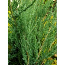 Juniperus comm. 'Arnold'