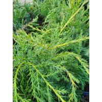 "Juniperus chinensis ""Kuriwao Gold"""