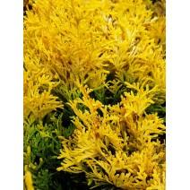 Juniperus hor. 'Golden Carpet'