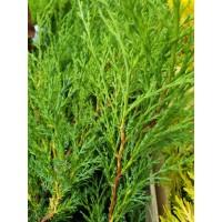 Juniperus pf. 'Mint Julep'