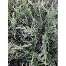 Juniperus scop. 'Moonglow'