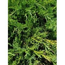 Juniperus pf. 'Pfitzeriana Glauca'