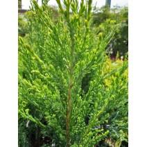 Juniperus hor. 'Prince of Wales'