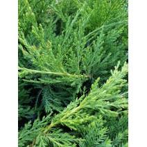 Juniperus sabina 'Rockery Gem'