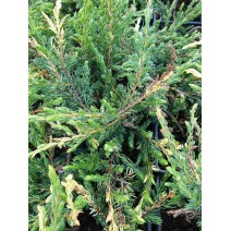 Juniperus comm. 'Spotty Spreader'