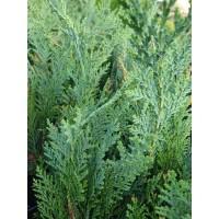 Juniperus virg. 'Hetz'