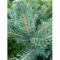 Picea pungens 'Glauca Majestic Blue'
