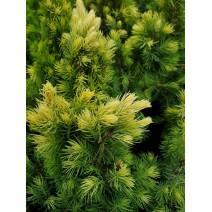 Picea - smreka  'Sun on the Sky'