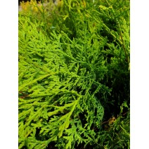Thuja pl. 'Can-Can'