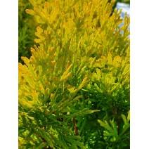 Thuja occidentalis - Cipresa 'Malonyana Aurea'