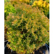 Thuja occidentalis - Cipresa 'Anniek'®