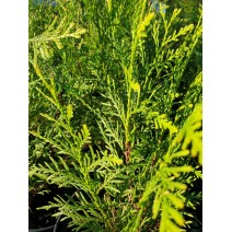 Thuja occidentalis - Cipresa 'Golden Globe'