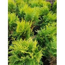 Thuja occidentalis - cipresa 'Salland'