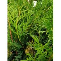 Thuja occidentalis - cipresa  'Tip Top'