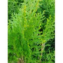 Thuja  'Aurea Nana' (platycladus)