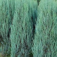 Juniperus - Brin  'Blue Arrow'