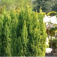 Chamaecyparis  - Pacipresa  'Ellwoodii Gold'