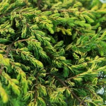 Juniperus comm. 'Goldschatz'