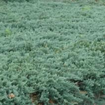 Juniperus hor. Icee Blue®
