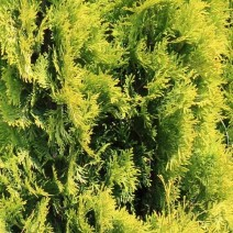"Thuja occidentalis ""Jantar"""