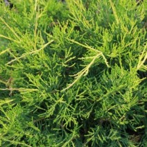 "Juniperus chinensis ""Kuriwao Gold"""