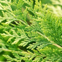 Cupressocyparis leylandii Castlewellan pacipresa